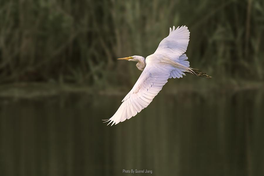 Bird Photograph - Great Egret by Quenel Jiang