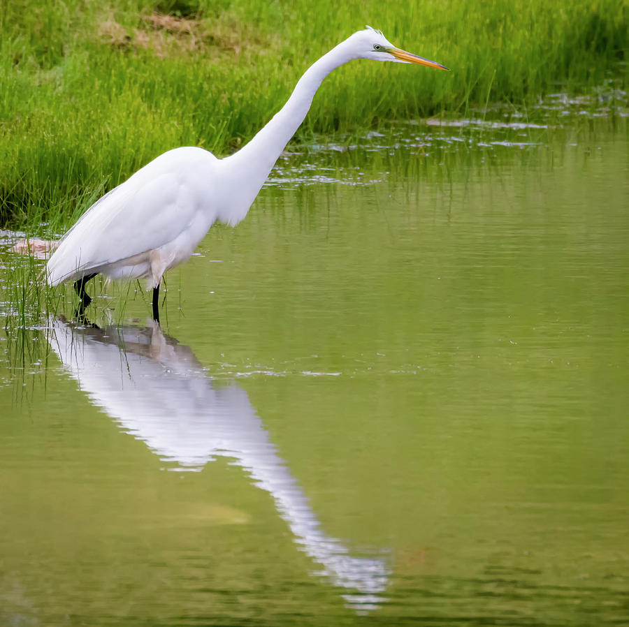 Great Egret Ready to Pounce by Ricky L Jones