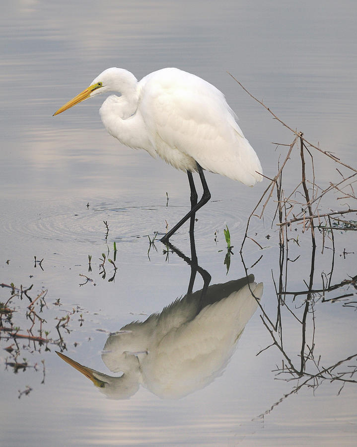 Great Egret Photograph - Great Egret Reflected by Brian Grant