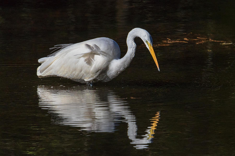 Ardea Alba Photograph - Great Egret Staring At His Reflection by Kevin Giannini