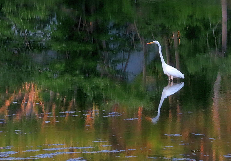 Great Egret Photograph - Great Egret Summer Pond by George Savic