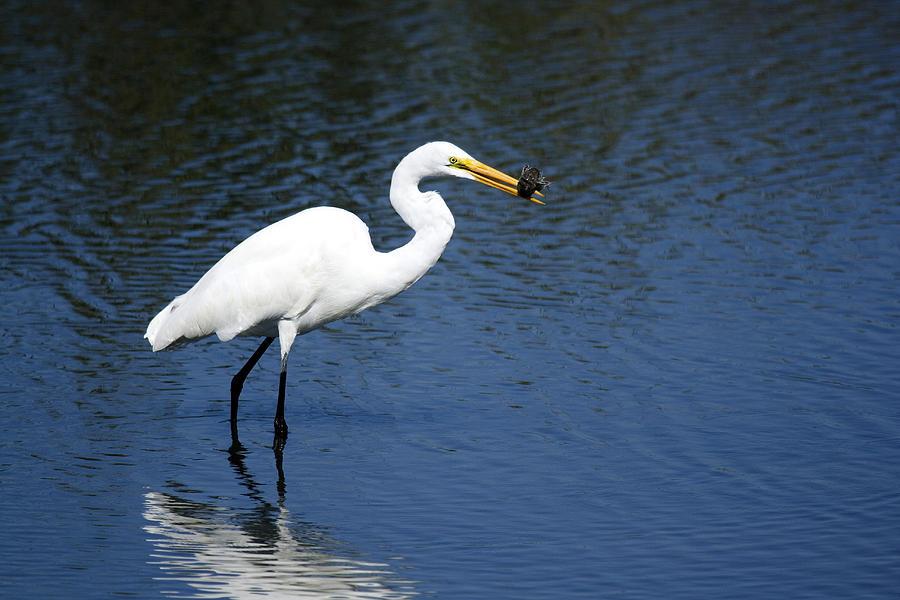 Great Egret Photograph - Great Egret by Tina B Hamilton