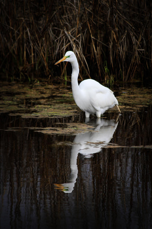2015 Photograph - Great Egret Wading  by Nathaniel Kidd
