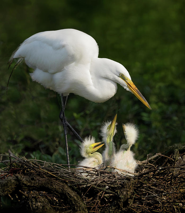Great Egret with chicks by Steve Zimic