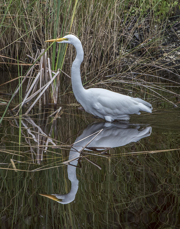 Bird Photograph - Great Egret With Reflection by William Bitman