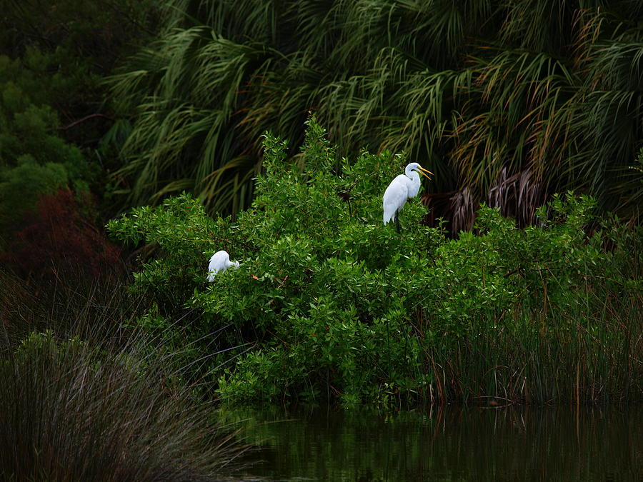 Great Egrets by James Granberry