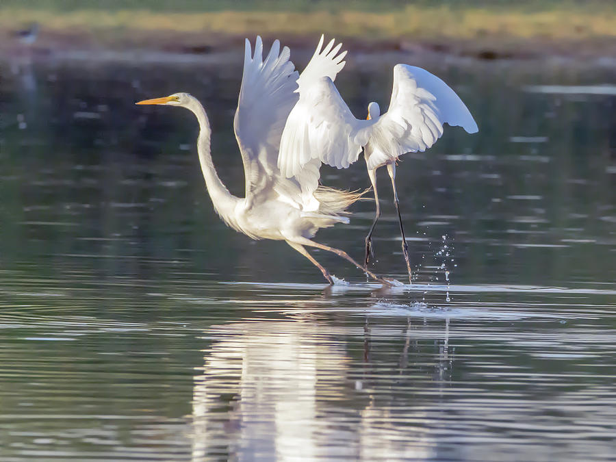 Great Photograph - Great Egrets by Tam Ryan