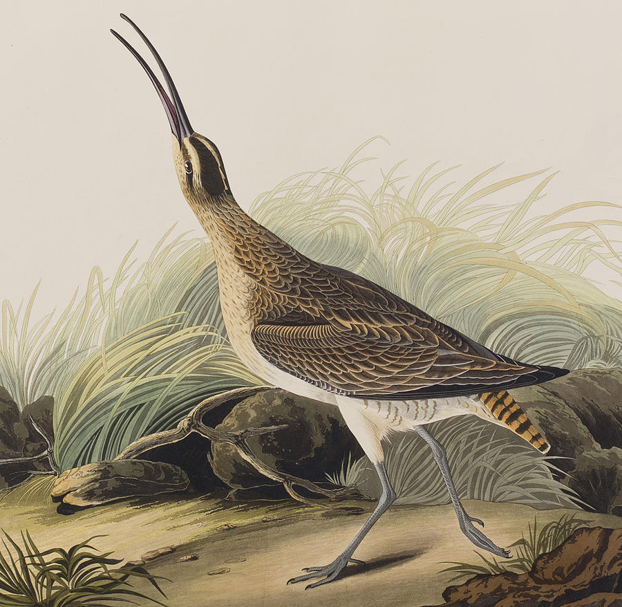 Curlew Painting - Great Esquimaux Curlew by John James Audubon