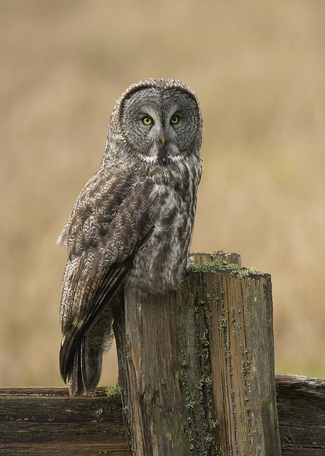 Birds Photograph - Great Gray Owl by Doug Herr