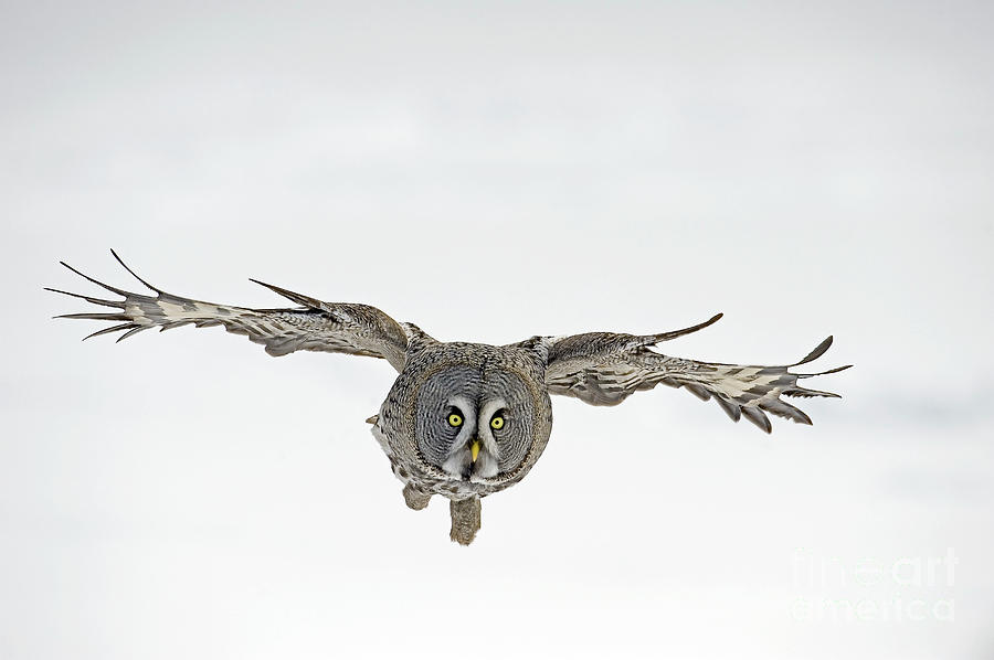 Great Gray Owl Flying by Jan Vermeer
