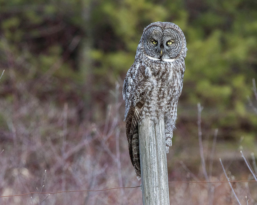 Great Gray Owl on Fence Post by John Vose