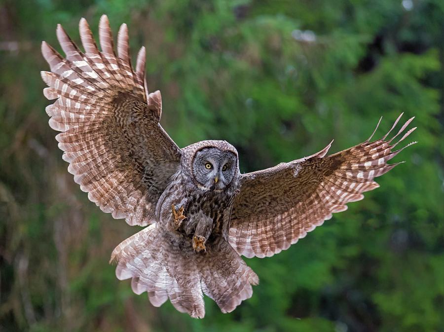 Great Gray Owl Photograph - Great Gray Owl Swoop by Loree Johnson