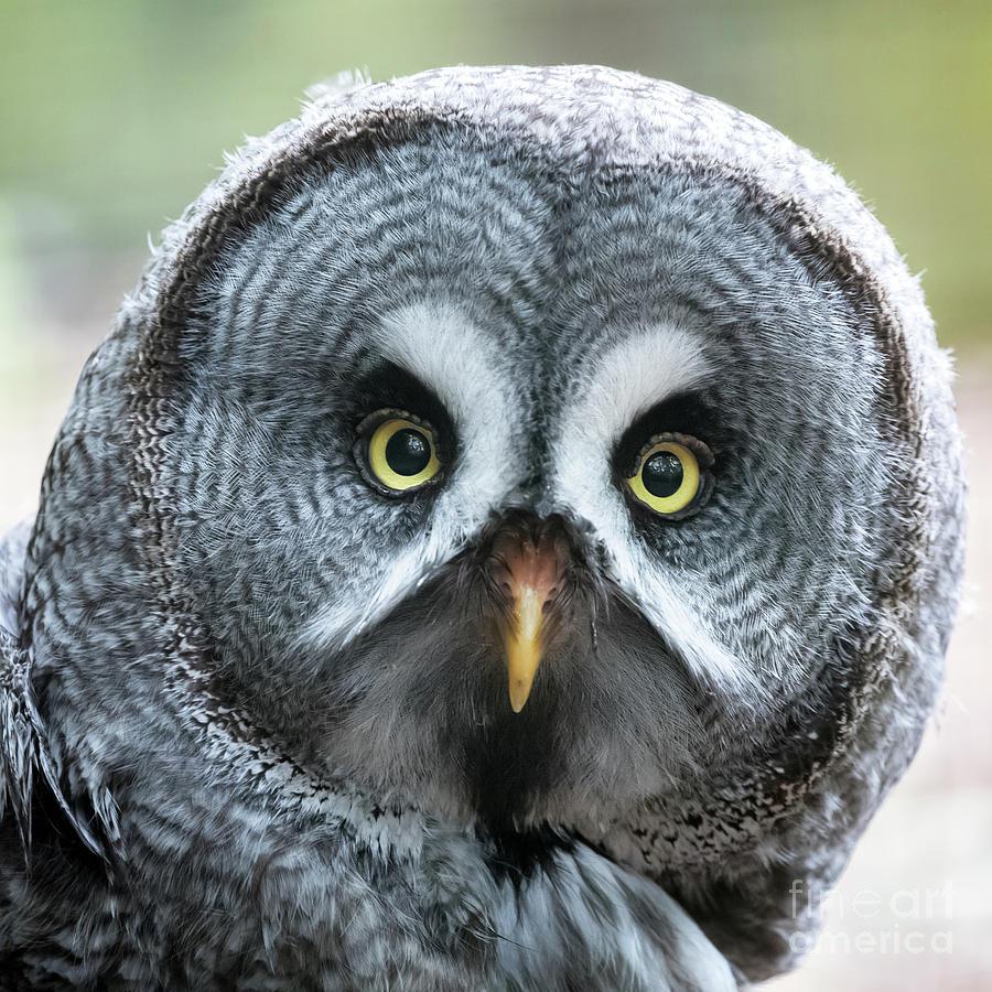 Owl Photograph - Great Grey Owl Closeup by Jane Rix