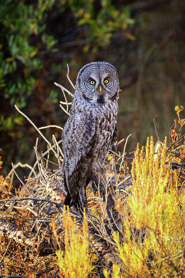 Great Grey Owl Photograph - Great Grey Owl Portrait by Greg Norrell