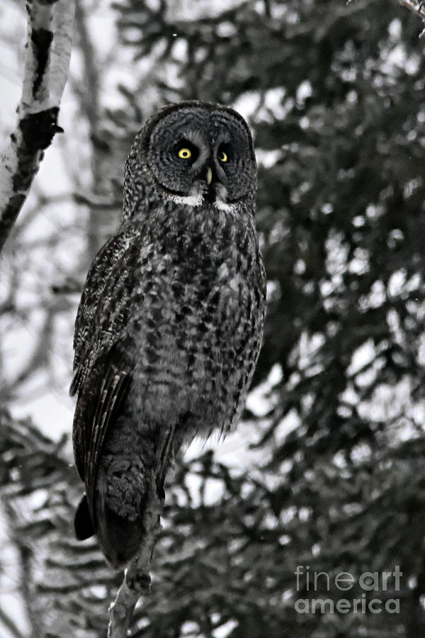 Nature Photograph - Great Grey Owl Portrait by Larry Ricker