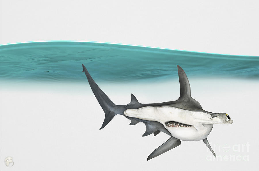 Great Hammerhead Sphyrna Mokarran - Squat-headed Hammerhead Shark - Grand Requin-marteau - Cornuda Painting