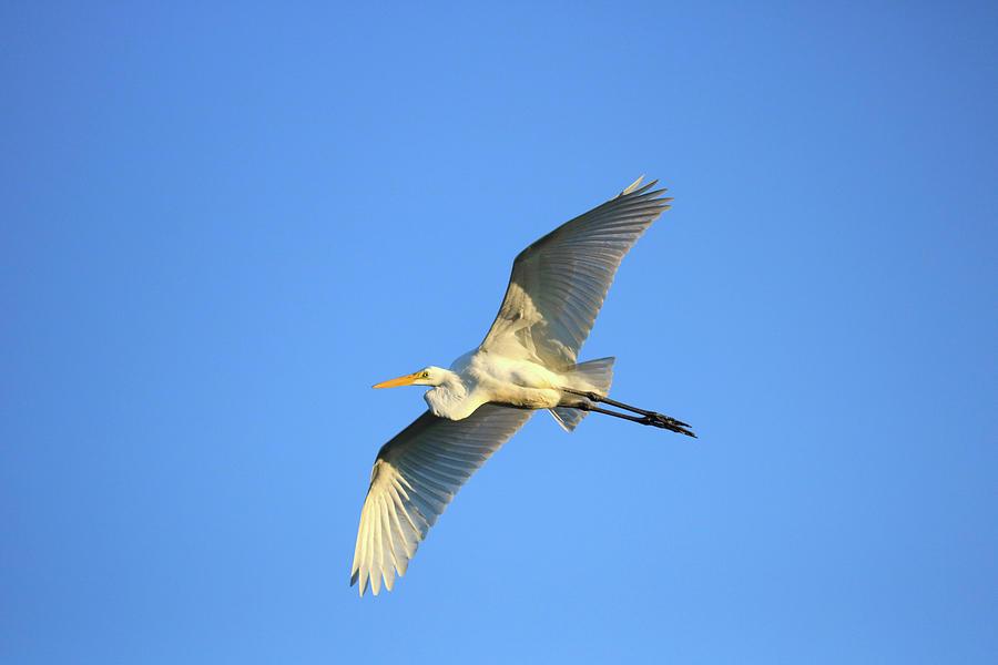 Great Heron In Flight II Photograph by Tony Umana