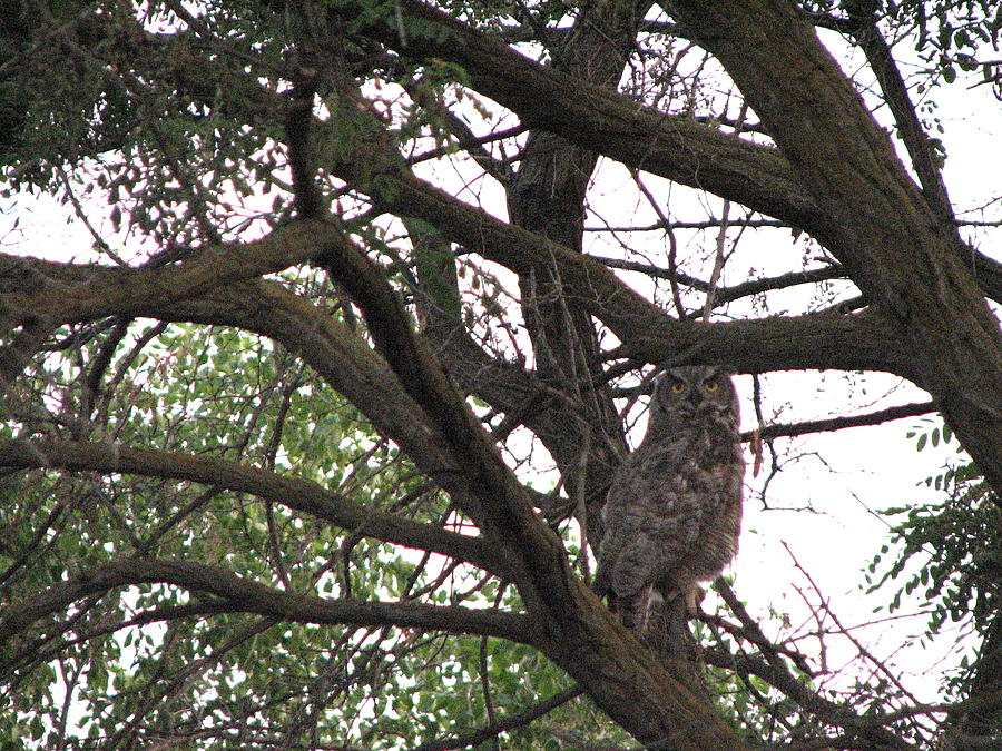 Great Horned Owl Photograph - Great Horned  by Athena Ellis