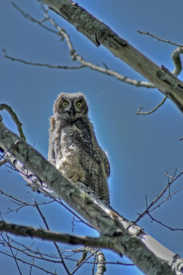 Birds Photograph - Great Horned Owl by Alexander Rozinov