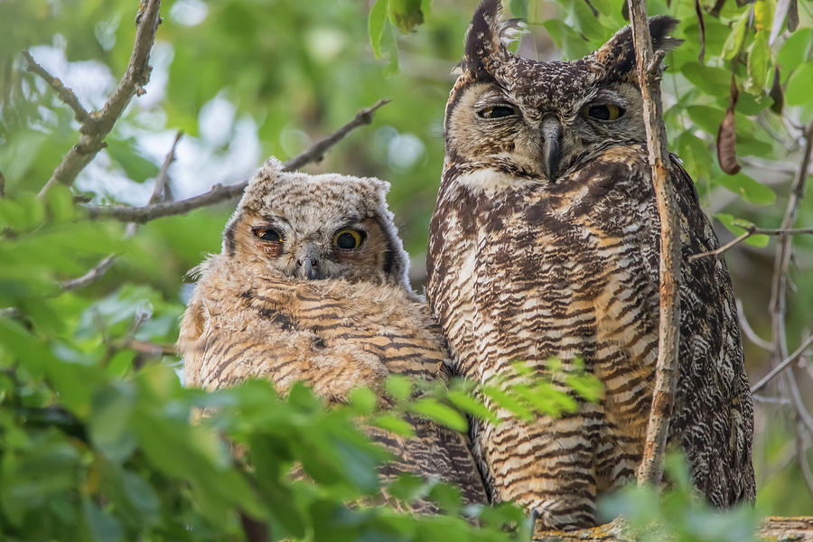 Great Horned Owl And Chick Photograph
