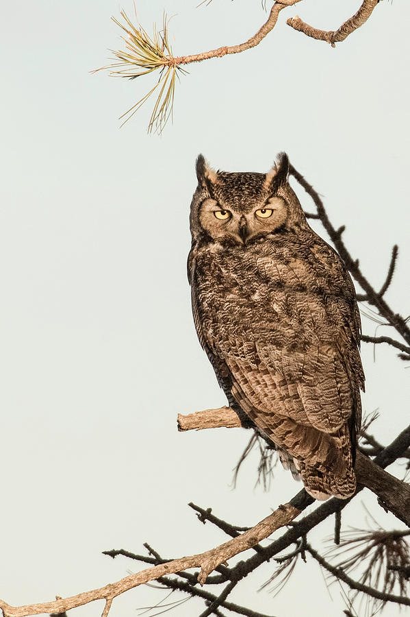 Great Horned Owl Photograph - Great Horned Owl At Dusk by Dawn Key