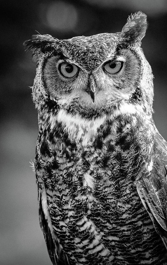 owl horned bw athena mckinzie iii photograph photographs wall 28th uploaded december which