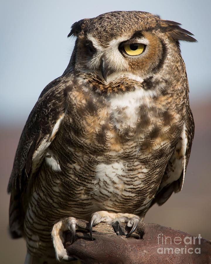Great Horned Owl Photograph - Great Horned Owl by Caroline Jeanine
