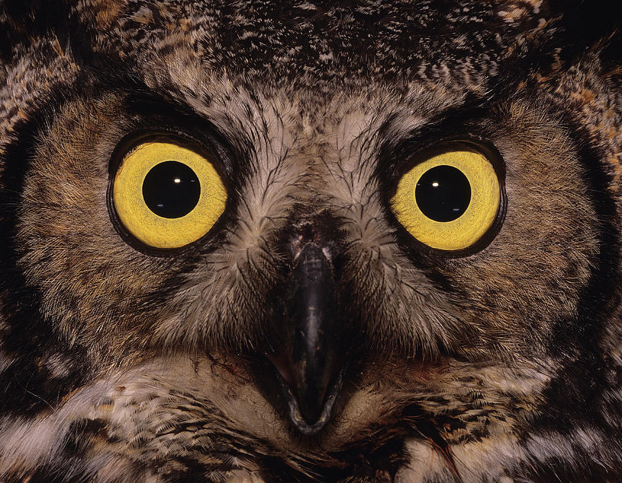 Great Horned Owl Photograph - Great Horned Owl Face by Tony Beck