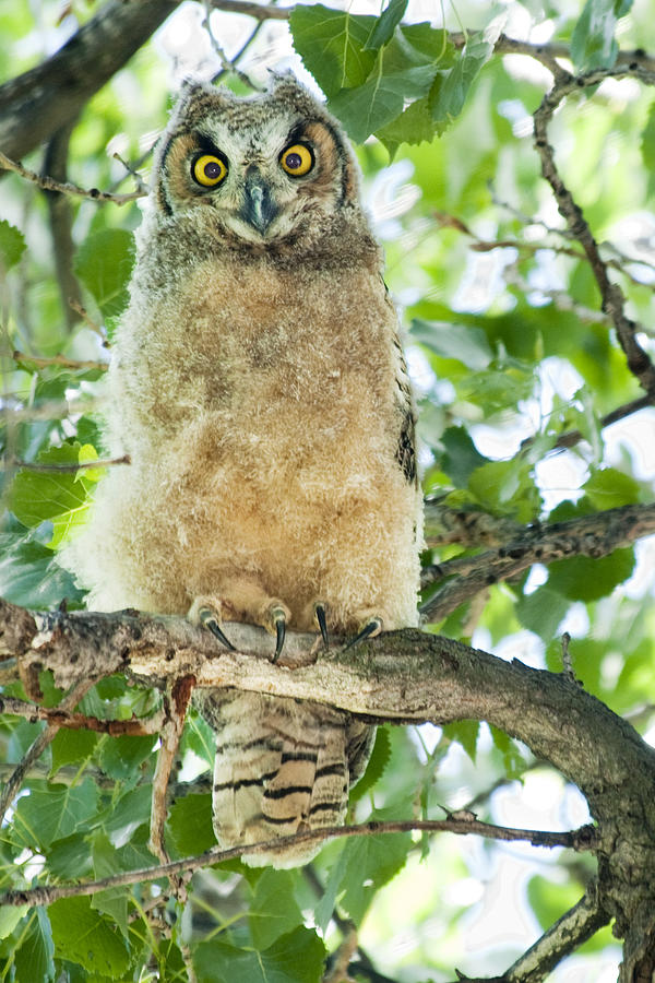 Owl Photograph - Great Horned Owl by Gary Beeler