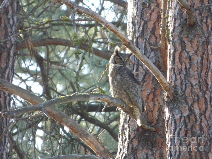 Great Horned Owl in a tree by Charles Robinson