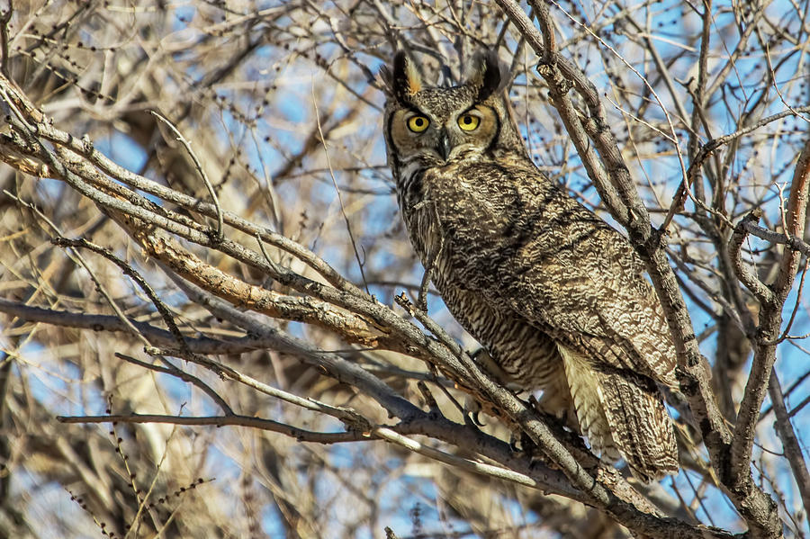 Great Horned Owl Photograph - Great Horned Owl In Cottonwood Tree by Dawn Key