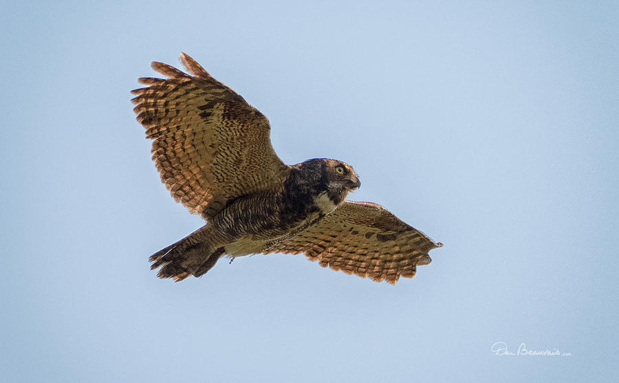 Great Horned Owl In Flight 8924 Photograph