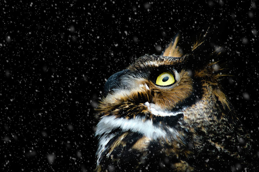 Great Horned Owl Photograph - Great Horned Owl In The Snow by Tracy Munson