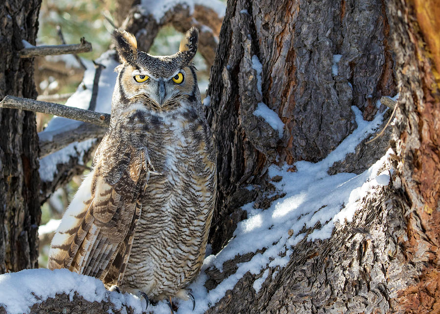 Bubo Virginianus Photograph - Great Horned Owl On Snowy Branch by Dawn Key