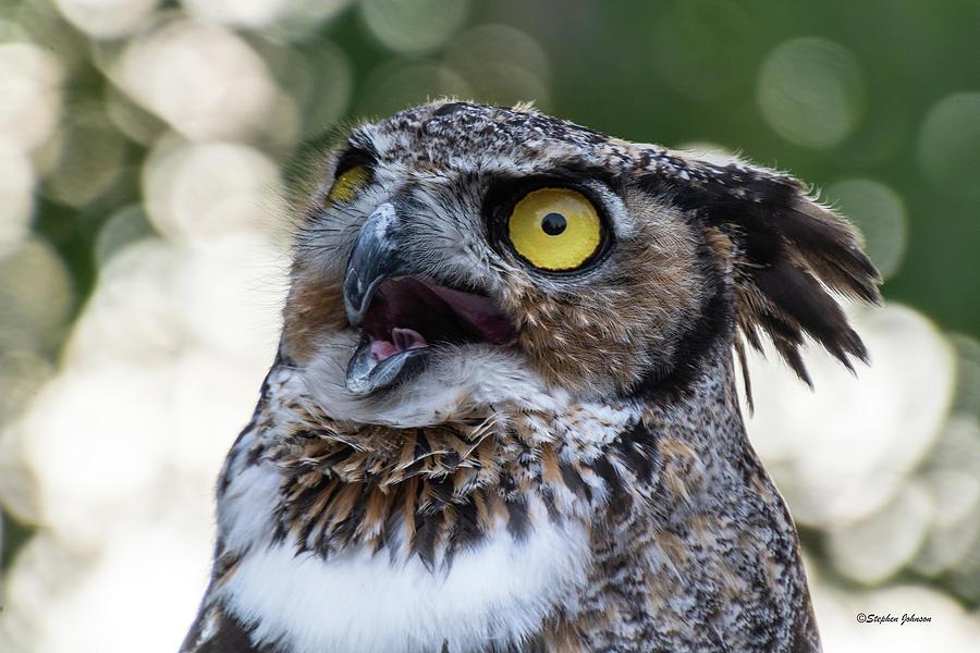 Great Horned Owl Portrait by Stephen Johnson