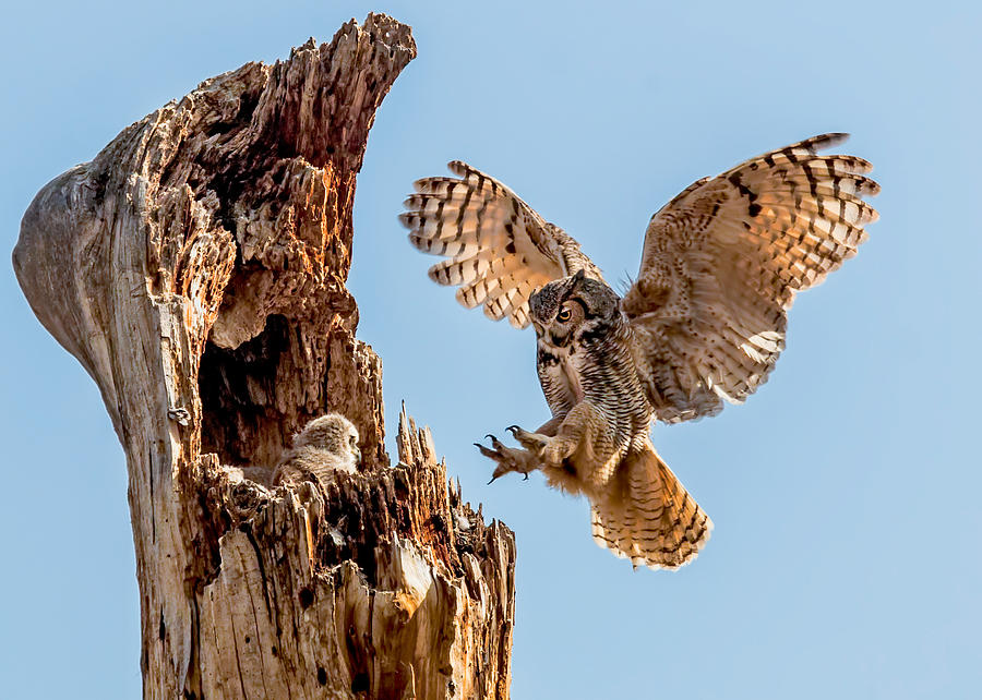 Bubo Virginianus Photograph - Great Horned Owl Returning To Her Nest by Dawn Key