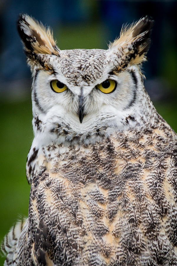 Great Horned Owl by Shannon Kunkle