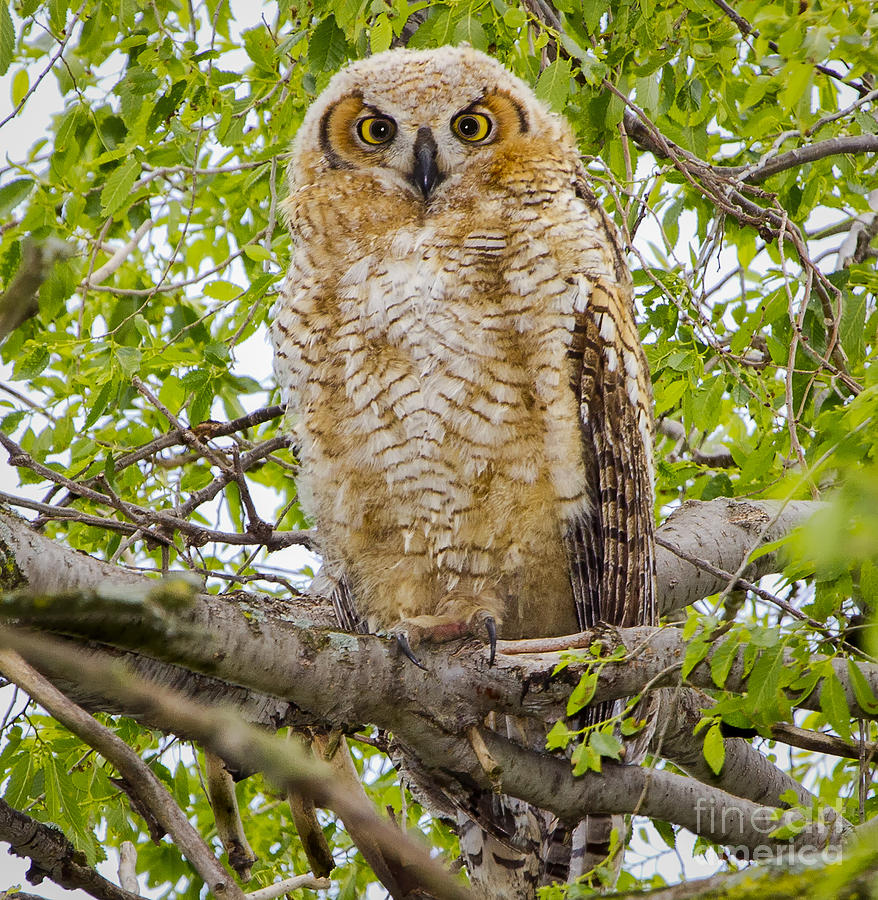 Canon Photograph - Great Horned Owlet by Ricky L Jones