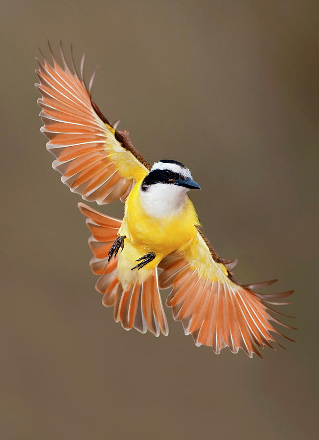 Great Kiskadee in Texas by Alan Murphy