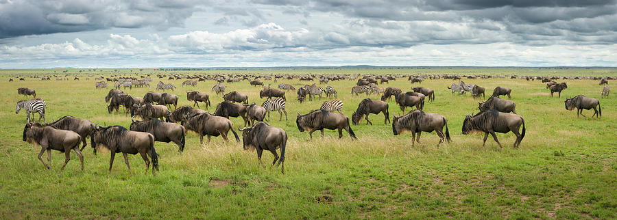 Nature Photograph - Great Migration In Serengeti Plains by Kirill Trubitsyn