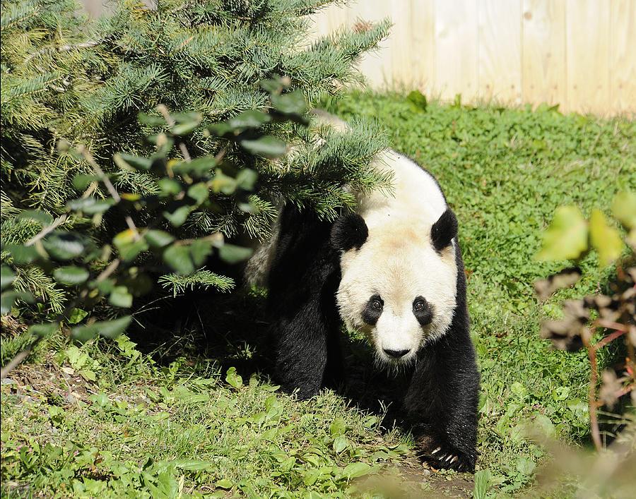 Panda Photograph - Great Panda Iv by Keith Lovejoy