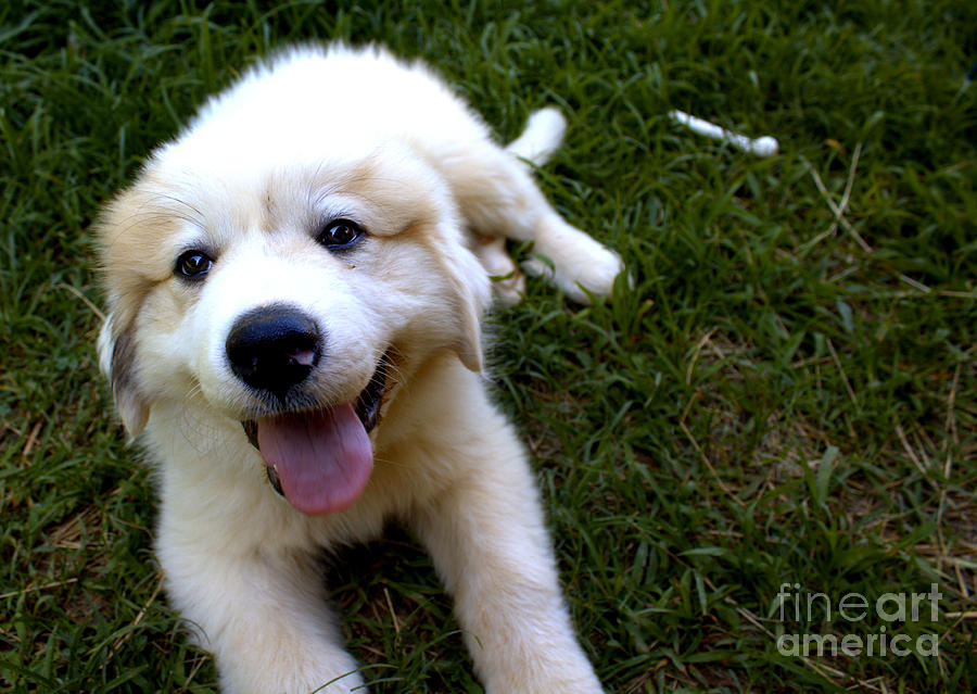 Puppy Photograph - Great Pyrenees Puppy by Pete Dionne