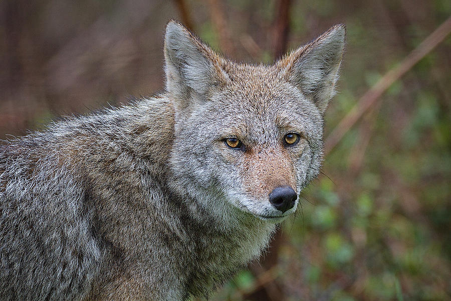 Coyote Photograph - Great Smoky Mountain National Park - Morning Coyote  by Jason Penland
