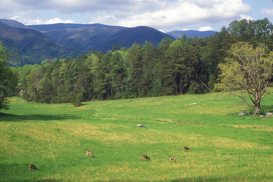 National Park Photograph - Great Smoky Mountains Deer Grazing In Field by John Burk