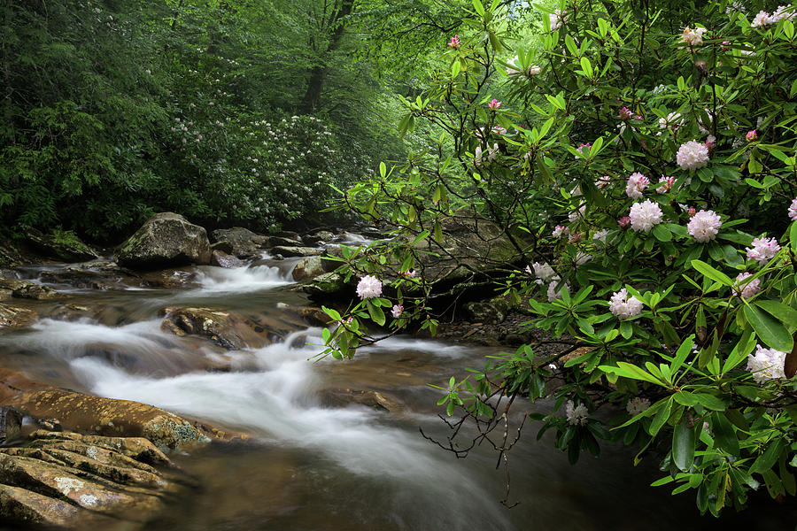 Bloom Photograph - Great Smoky Mountains Rosebay Rhododendron by Mark VanDyke