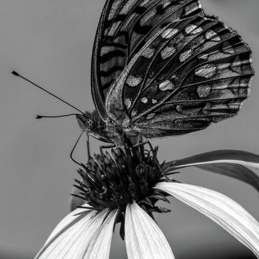 Great Spangled Fritillary Black And White Photograph
