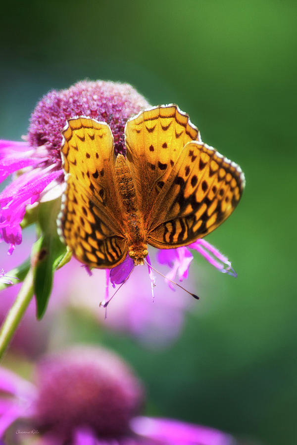 Fritillary Butterfly Photograph - Great Spangled Fritillary Butterfly by Christina Rollo