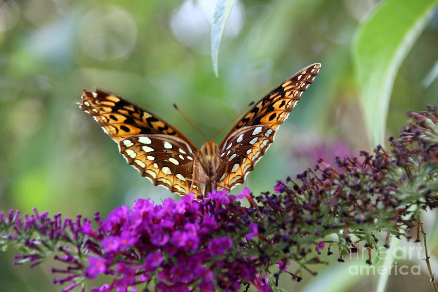 Butterfly Photograph - Great Spangled Fritillary Butterfly by Wendy Coulson
