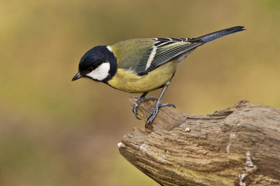 Yorkshire Photograph - Great Tit by Andy Beattie Photography