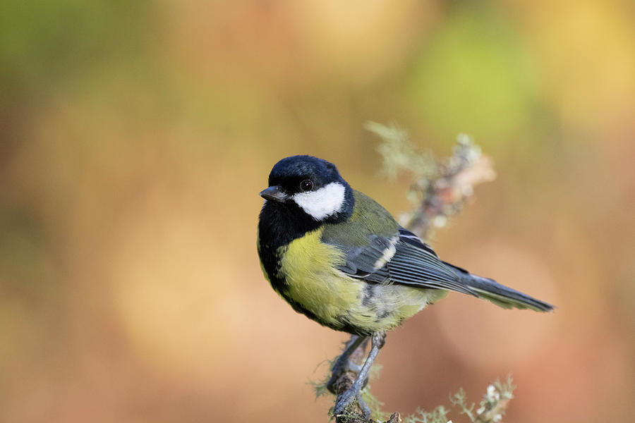 Great Tit - Parus Major by Karen Van Der Zijden